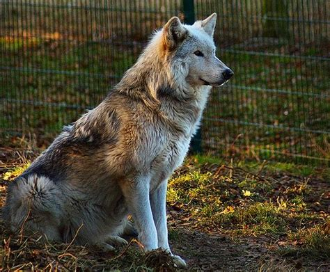why do dogs sit on your do wolves sit naturally or is sitting something we ve taught dogs quora