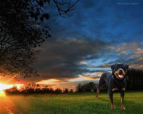 rottweiler wallpaper beautiful rottweiler rottweiler wallpaper 13379054 fanpop