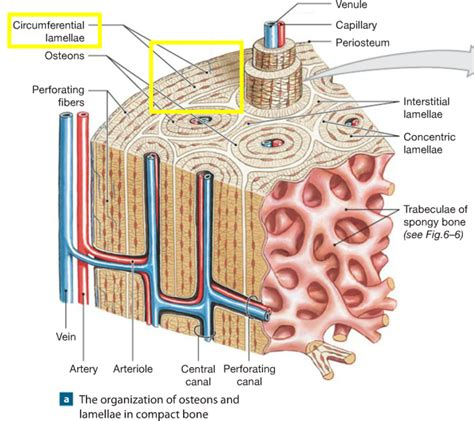 bone setter definition chapter 6 osseous tissue and bone structure flashcards