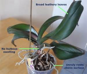 expert guide to orchid care for the amateur phalaenopsis