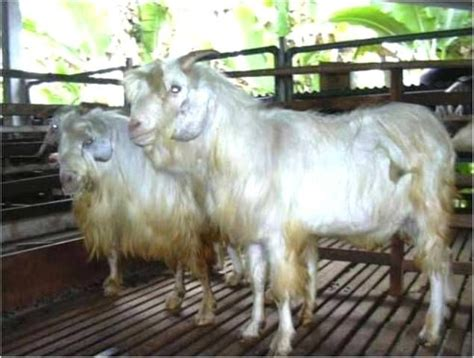 kambing wikipedia bahasa melayu ensiklopedia bebas kambing gembrong wikipedia bahasa indonesia