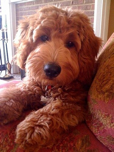 goldendoodle puppy jumping 261 best goldendoodles galore images on