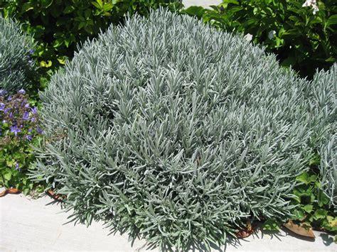 my california garden in zone 23 mounding compact lavender