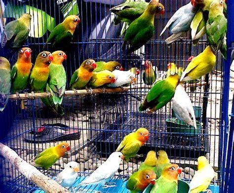 Jual Pakan Burung Lb burung lovebird ring bbf kiosburung