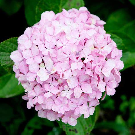 pink flower garden 11 beautiful hydrangea flowers garden club