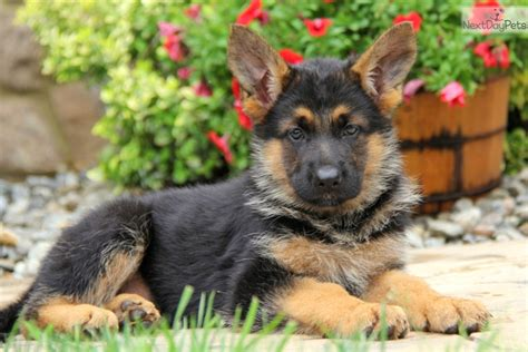 german shepherd puppies for sale near me adoption near me pets world