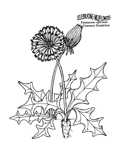 dandelion free coloring pages for kids printable