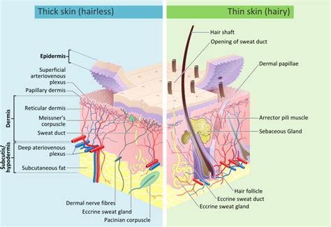 mammalian skin diagram skin definition synonyms from answers