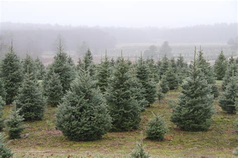 where to cut a x mas tree ri r i tree farms let you tag your own tree entertainment providencejournal