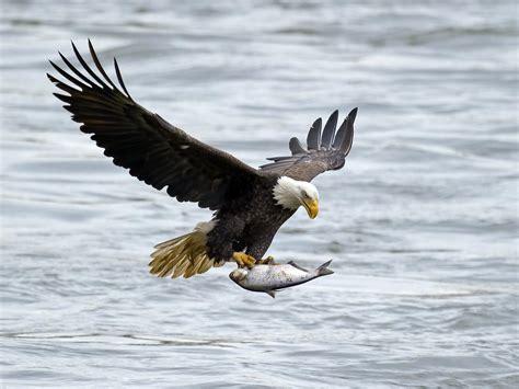 pictures of bald incredibly wonderful facts about the magnificent bald eagle