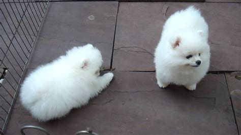 pomeranian puppies for sale in baton pomeranian puppies for sale baton la 243156