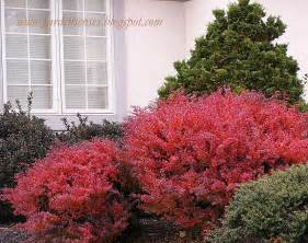 colorful bushes garden sense fall color shrubs