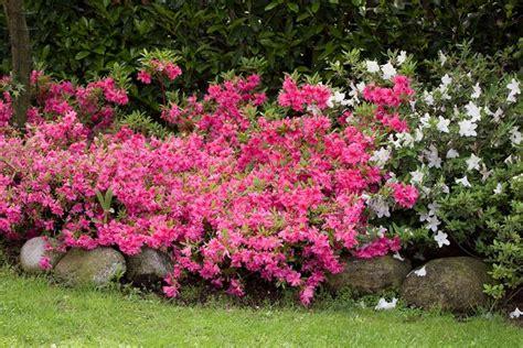 fiori e piante da giardino azalea piante da giardino fiori giardino