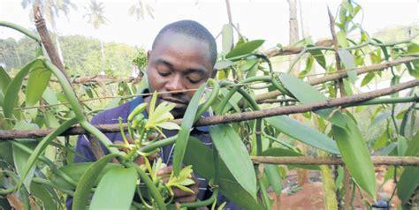kenyan farmers  put vanilla silkworms   burner  gains business daily