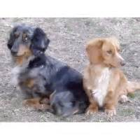 dachshund puppies va dachshund puppies rescue va photo
