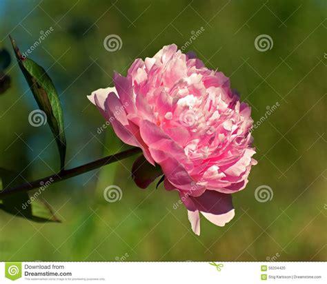 unbloomed peonies pink peony flower royalty free stock image cartoondealer