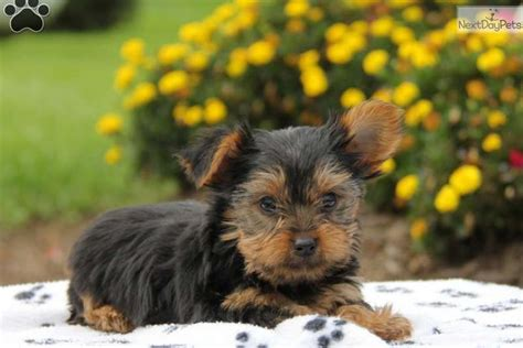 yorkies for sale in lancaster pa dogs for sale in lancaster pennsylvania dogs on oodle marketplace