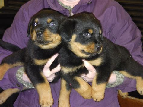 puppy breeders in nj rottweiler pitbull mix picture
