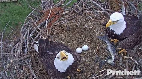 southwest florida eagle cam live cam captures bald eagle eggs beginning to hatch
