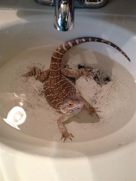 how often do bearded dragons go to the bathroom bearded dragon colors wallpapers gallery
