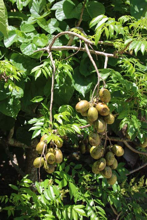 florida fruit trees the great south florida food forest project archives the