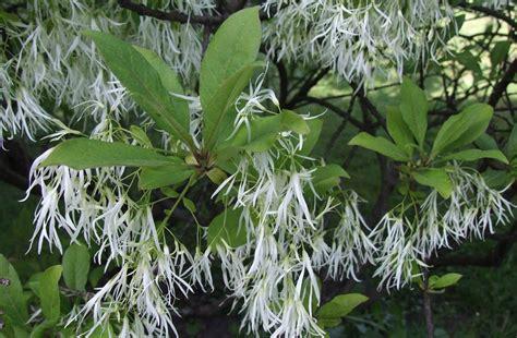Maple Tree Nursery by White Fringe Tree Maples N More Nursery