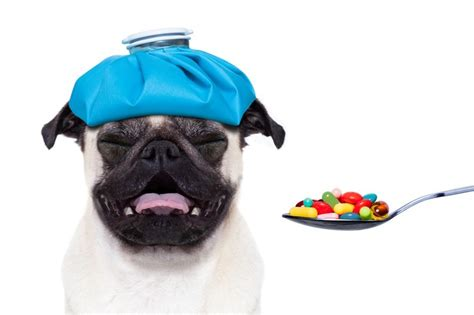 pugs and human allergies the counter human meds that are okay to give to fido