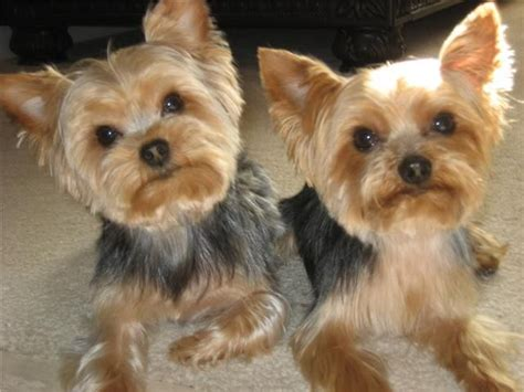 grooming styles for yorkies different grooming styles for yorkie ppos newhairstylesformen2014