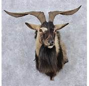 Goat Head Black Catalina Mount 12521  The Taxidermy Store