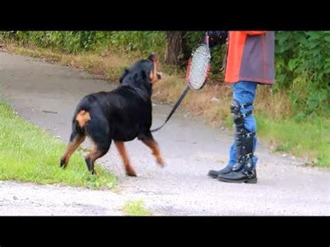 whisperer rottweiler episode all bark and hopefully no bite cesar 911 doovi