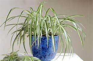 spider plant how to grow spider plants chlorophytum