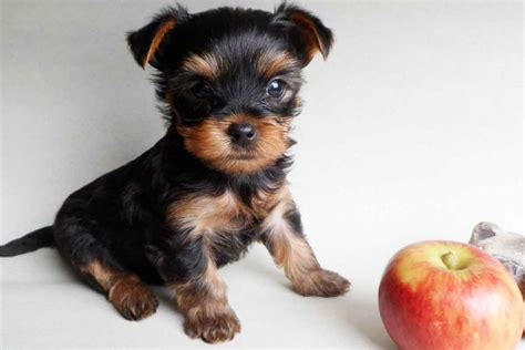 yorkie puppy terrier puppy hairstylegalleries