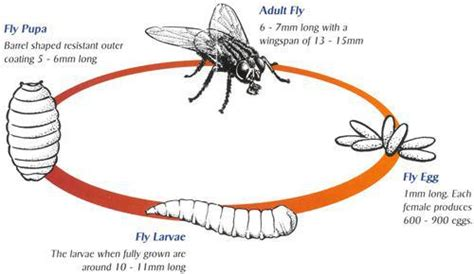 House Fly Lifespan by Flies Pests Defence Get Rid Of Habitat Harm To Human And Methods Of Dealing With
