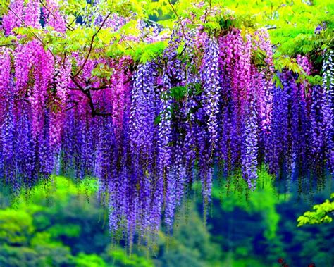 pink and purple tree wisteria tree with pink and purple flowers wallpaper hd