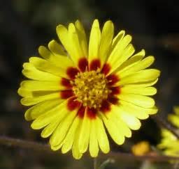 file madia elegans flower2 jpg wikimedia commons