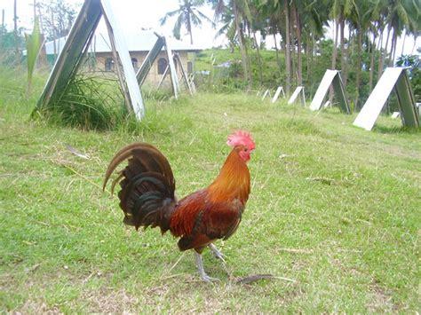 Bibit Ayam Petelur Makassar ayam aduan makassar