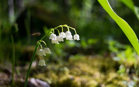 Fall Gardening Tips - lily of the valley auntie dogma s garden spot
