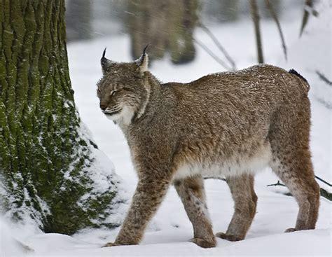 canadian snow lynx canadian snow lynx newhairstylesformen2014 com