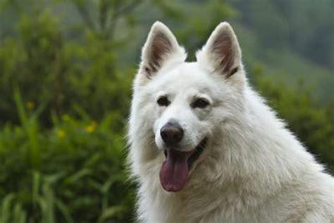 white german shepherd puppies price what do white german shepherds cost cuteness