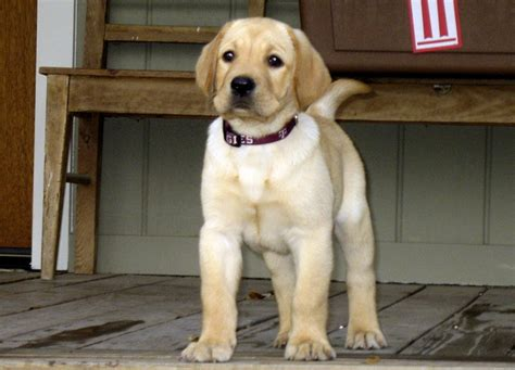 pictures of yellow lab puppies yellow labrador retriever img 0661 jpg