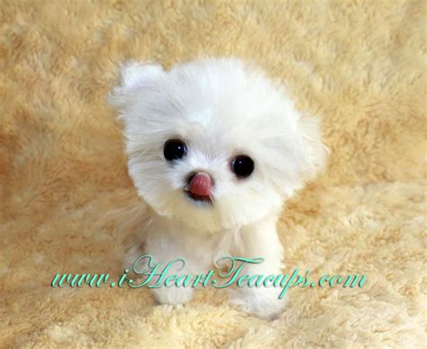 tea cup dogs micro teacup maltipoo pocket micro teacup puppy for sale in los angeles a