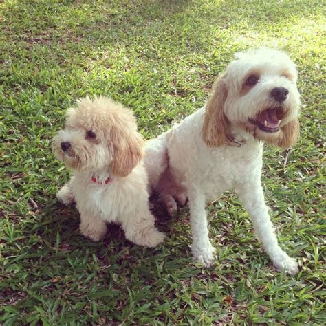 oodle dogs 1000 images about oodle moodle maltipoo on maltipoo and