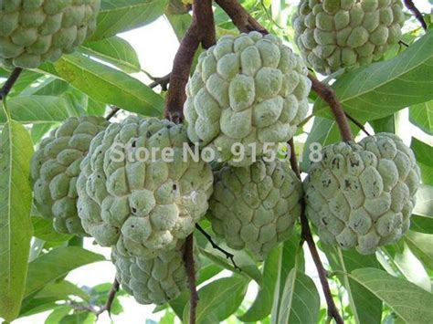 graviola tree fruit where to buy aliexpress buy fruit seeds 10 seeds soursop