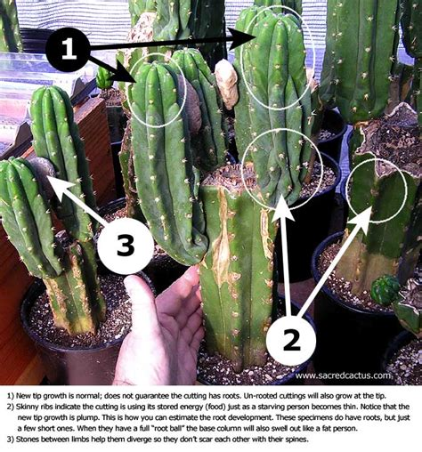 How To Propagate A Succulent Cookie And Kate - sacred cactus trichocereus pachanoi peruvianus san