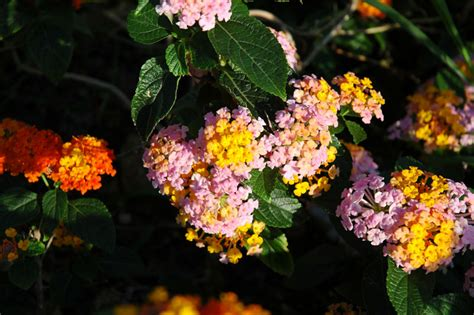 floral pictures picture of tropical flower lantana