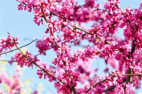 types of cherry blossom trees www pixshark com images galleries with a bite