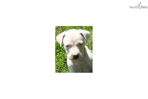 dogo argentino puppies for sale near me chion bred reservation argentine dogo puppy for sale near san diego