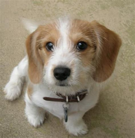 beagle cross shih tzu 18 beagle cross breeds you to see to believe
