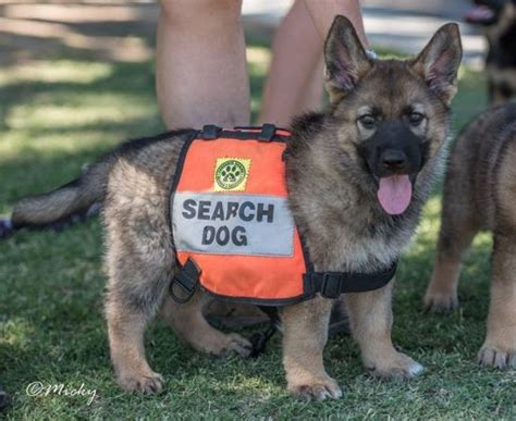 puppy finder rescue facts about search and rescue dogs you ll want to dailyforest