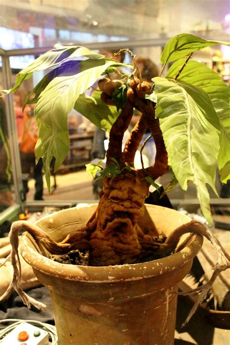 a mandrake the boy who lived pinterest